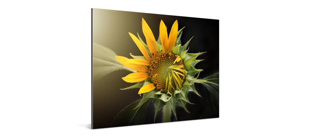 What is an aluminium print. Aluminium photo print with sun flower.