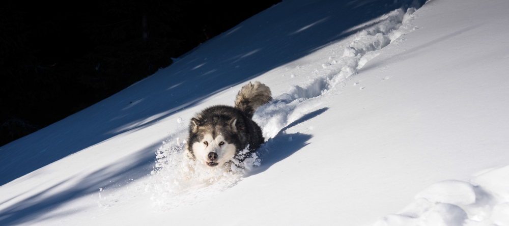 New photo trends for 2021. Happy husky running roaming free.