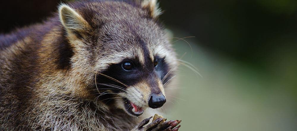 mapache de cerca